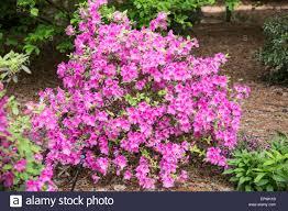 Clemson Botanical Garden by Encore Autumn Royalty Azalea South Carolina Botanical Gardens