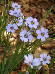 native plant guide sisyrinchium blue eyed grasses plant care guide varieties