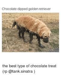 Golden Retriever Meme - chocolate dipped golden retriever the best type of chocolate treat