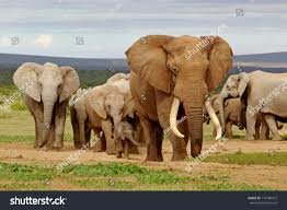 elephant herd led by magnificent tusker stock photo 119196472
