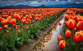 tulips field 1920 x 1200 nature photography miriadna com