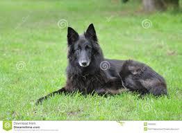belgian sheepdog groenendael puppies groenendael stock photos image 5959293