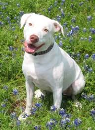 american pitbull terrier dalmatian mix difficulty of breed identification stop bsl