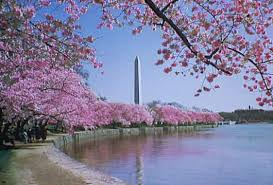 cherry trees planted in washington d c