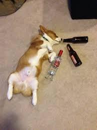 Corgi Birthday Meme - go home corgi you re drunk corgi