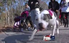 american pitbull terrier uk law pit bull parade in rhode island celebrates breed being legalized