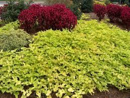 plant guide ipomoea batatas margaurite margaurite