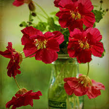 Red Flowers In A Vase How To Grow U0026 Use Nasturtiums The Micro Gardener