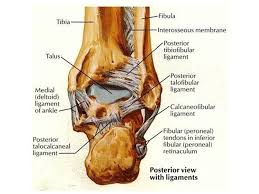 Talus Ligaments Ankle Joint Dr Rania Gabr Ppt Video Online Download