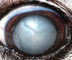 How Does Diabetes Cause Blindness Cataracts In Diabetic Dogs