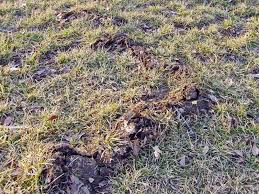 How To Get Rid Of Moles In The Backyard by Moles