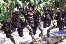 Grape Trellis For Sale High Trellises Cordon System For Grape Vine Growing Home Guides