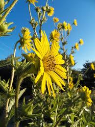 kansas native plant society nebraska native plants grimm u0027s gardens