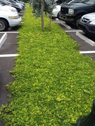 ornamental peanut lawn no need for water fertilizer pesticides