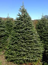 hill farms turkish nordmann fir trees and hill farms history