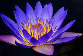 wallpaper blue lotus flower full hd nature images x on beauty