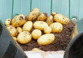 potato reveal two small pots of potatoes emptied and weighed