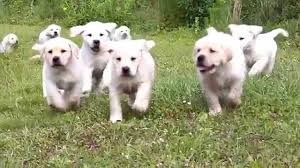yellow labrador puppies chasing mother