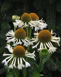 echinacea flower new and coneflower varieties hgtv