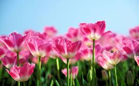 Flower Gardens Wallpapers - red flower garden 7039316