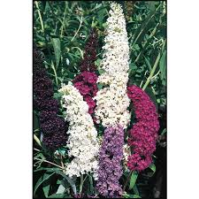 shop 2 gallon purple butterfly bush flowering shrub l8073 at