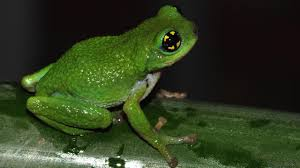 bbc earth rare bush frog breeds inside bamboo