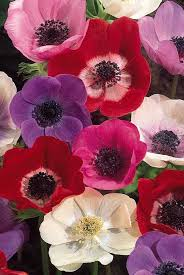 anemones flowers anemone flower pictures pictures of flowers