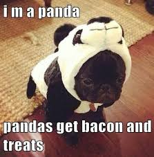 Dog Bacon Meme - panda pug demands bacon pug meme funny cute pugs