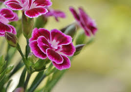the history of carnations blooms today