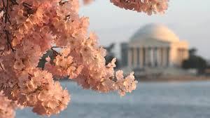 National Cherry Blossom Festival by Celebrate Spring At The Cherry Blossom Festival Wanderu