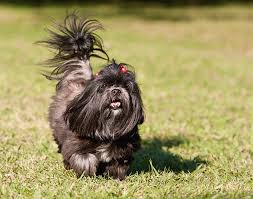 affenpinscher terrier mix lhasa apso dog breed information pictures characteristics