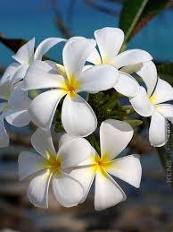 Plumerias Hawaiian Frangipani Plumeria 2 Plant Mix U2013 Kens Nursery
