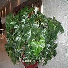 indoor vine plant big promotion 100 genuine rare 30pcs philodendron seeds vine