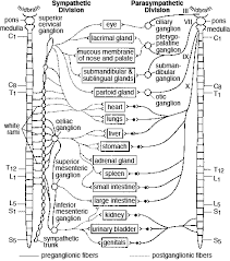 Anatomy And Physiology Of Speech The Autonomic Nervous System