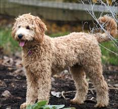 labradoodle hairstyles goldendoodle haircut pictures hairstyles ideas pinterest