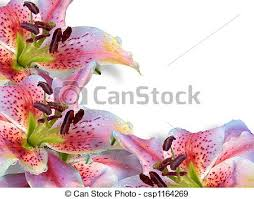 asian lilies asian lilies up asian lilies image composition for stock