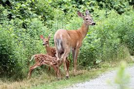 white tailed deer family in trustom pond national wildlife refuge
