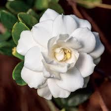 gardenia flower gardenia mint