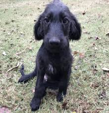 affenpinscher for sale near me labradoodle puppies for sale