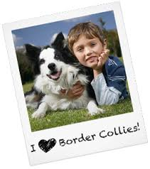 bearded collie montreal border collie puppies rescue and adoption near you