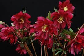 new hellebores for sale with some quantity discounts u2026while they last