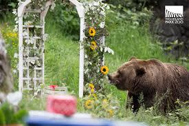 Zoo Lights Woodland Park Zoo by Woodland Park Zoo Blog Bear Affair Teaches Bear Smarts In The