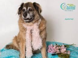 australian shepherd or golden retriever view ad australian retriever dog for adoption california