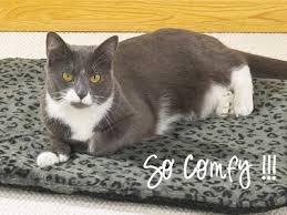 Bed Bugs On Cats Fleas Can Kill Kittens Get Rid Of Cat Fleas Fleaseason Com