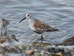 Nj Backyard Birds by Key Species Shorebird Project Conserve Wildlife Foundation Of