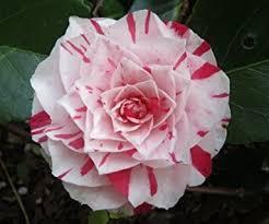 camellia flowers camellia japonica japanese camellia tea flower