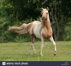 D H Flagging Arabian Horse Stock Photos U0026 Arabian Horse Stock Images Alamy