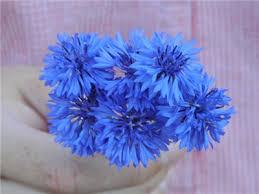 bachelor buttons blue boy bachelor button baker creek heirloom seeds