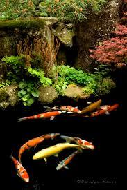 250 best koi and fish ponds images on pinterest goldfish