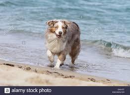 australian shepherd red merle dog australian shepherd aussie red merle walking in
